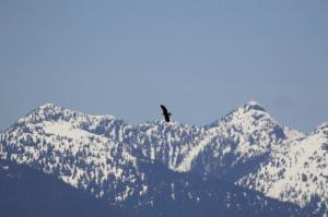 Bald Eagle with mountain background